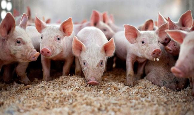 protein tozu domuz katkısı